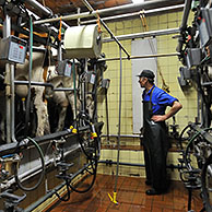 Milker with cows attached to milking machine (Bos taurus) in the milking parlor, Belgium